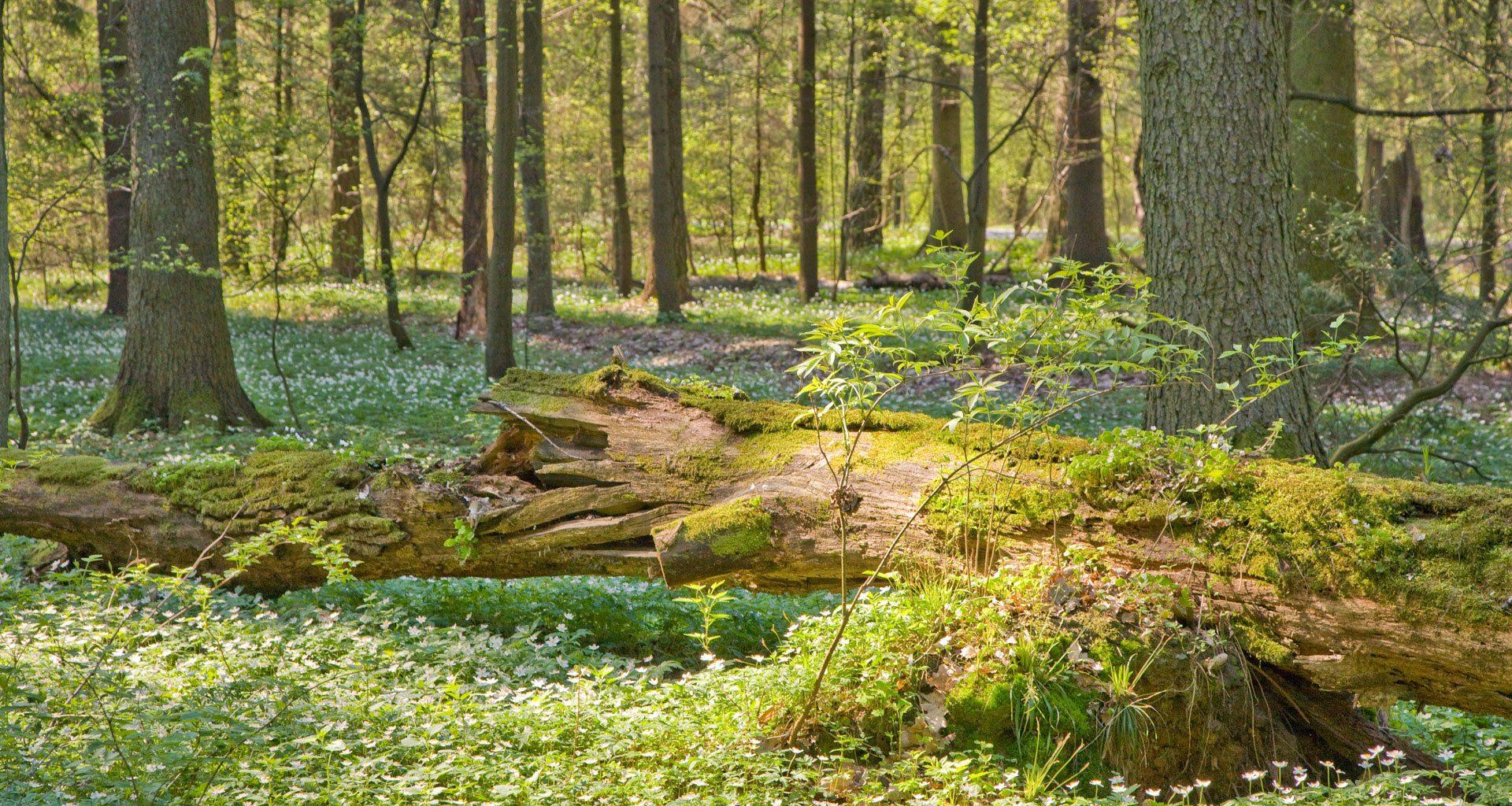 alter Wald im Sonnenlicht