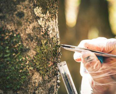 mit einer pinzette wird etwas aud der Borke eines Baumes entnommen