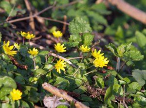 Gelbe Blüten des Scharbockskrauts