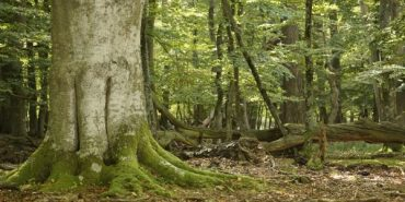 Alte Eiche im Mischwald
