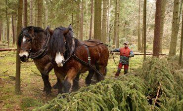Zwei Kaltblut-Pferde ziehen Baumstamm durch Wald