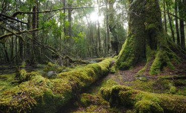 alter Wald in Tasmanien