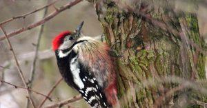 Brutvögel lieben alte Wälder