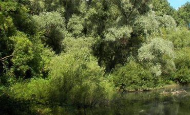 Silberweiden am Flußufer