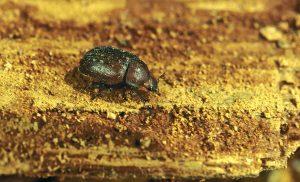 Kurzschröter Käfer auf Holz