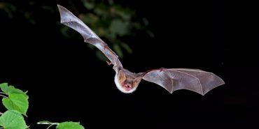 Großes Mausohr, Fledermaus bei Nacht