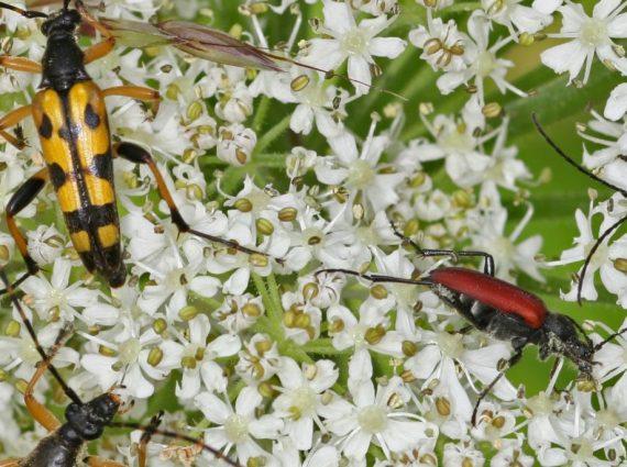 bockkäfer in Blüten