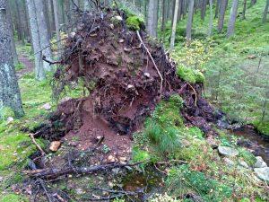 Die Wurzeln eines umgestürtzen Baumes