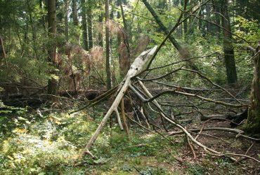 umgestürzter Baum im Patenzeller Eibenwald
