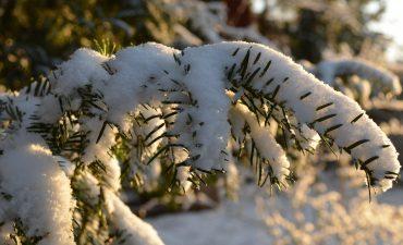 Eibenzweig im Schnee
