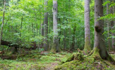 Alter Urwald an der Grenze zwischen Polen und der Urkaine