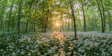 Bärlauch im Wald bei Sonnenuntergang