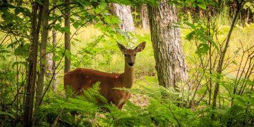 Ein Reh im Wald