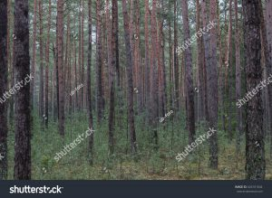 Monokultur, Baumplantage