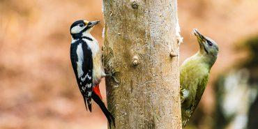 Zwei Spechte an einem Baumstamm