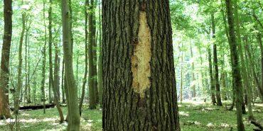 Spechtschaden am Baum