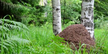 Ameisenhügel