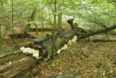Baum mit Pilz Stachelbart