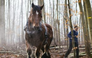Holzernte mit vier Pferdestärken