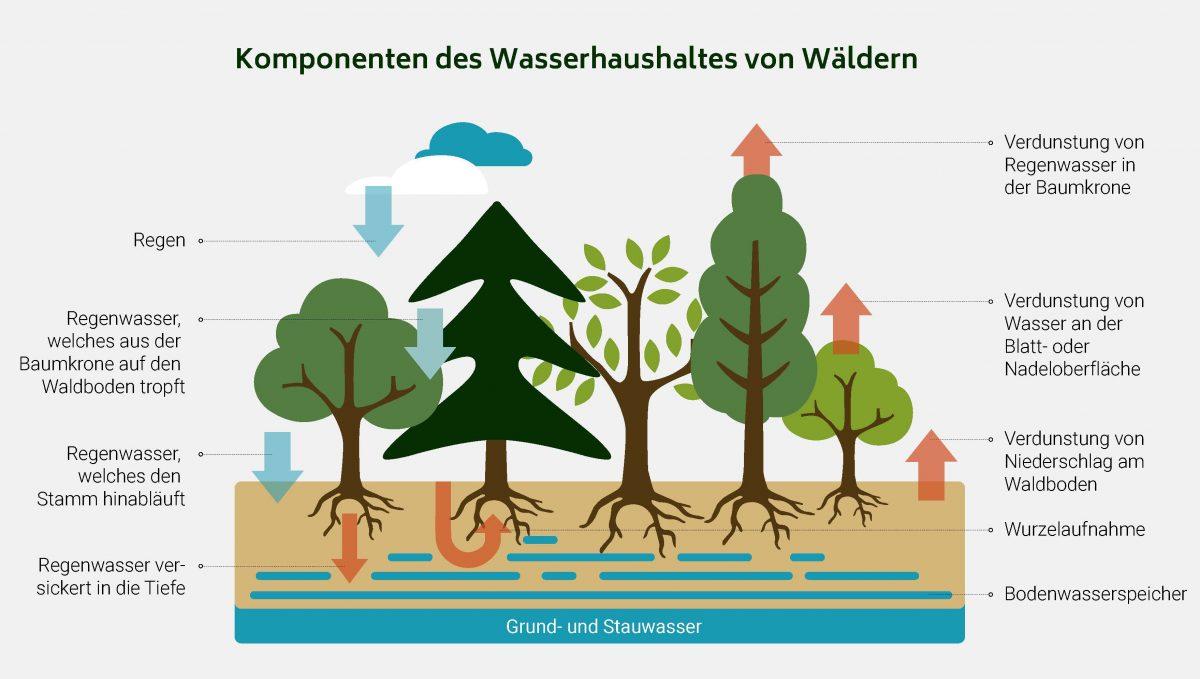 Was passiert mit dem Wasser im Wald?
