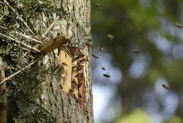 Bienen im Anflug auf Baum