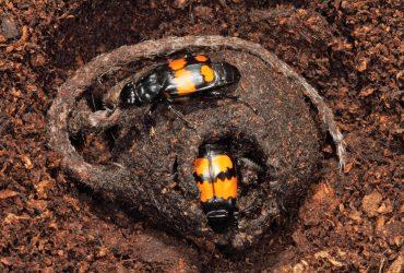 Totengräber Käfer