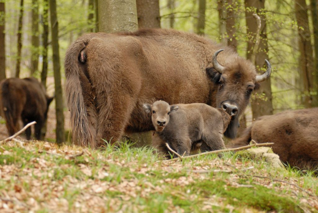 Wisent-Herde im Wald
