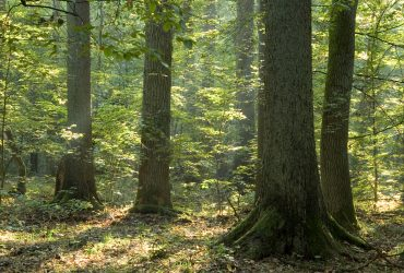 alter Wald