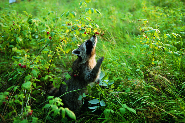 Waschbären lieben Früchte
