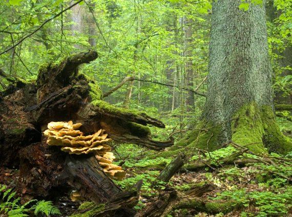Wald mit Totholz